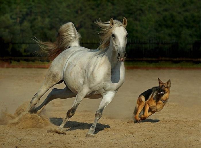 Толика крови арабских лошадей течет практически во всех современных конских породах.