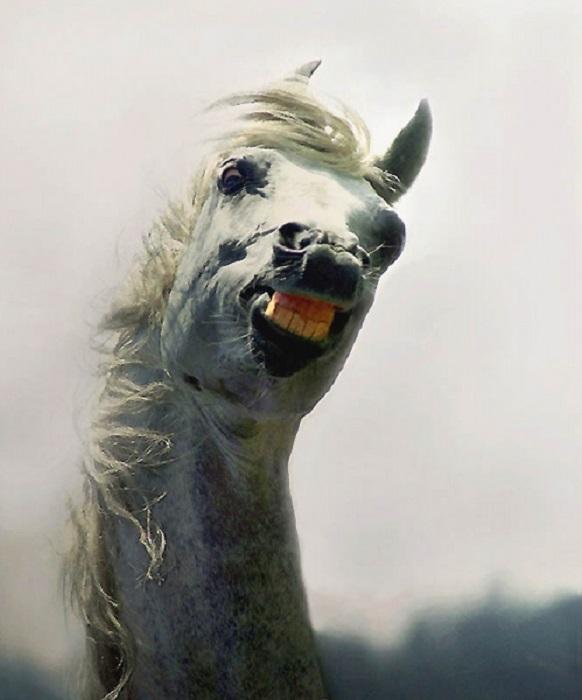 Светло-серая масть у арабских лошадей – самая нарядная.