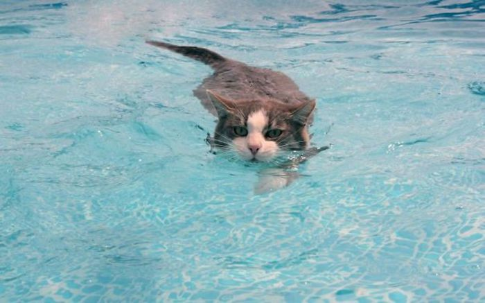 Если в плавании появится необходимость, то кошки отличные пловцы.