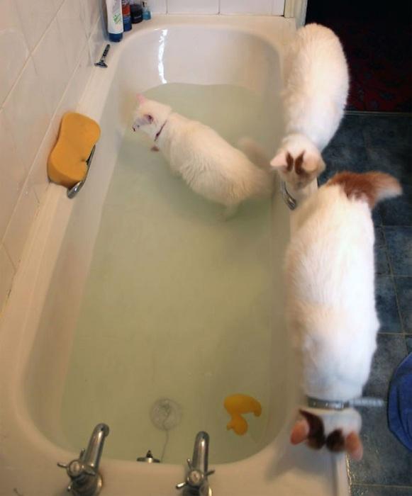 Кошки с удовольствием играют с водой.