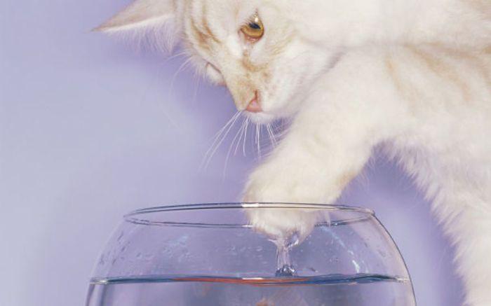 Кошки остерегаются воды, чтобы не намочить шерсть, т.к. он тогда теряет свои теплоизолирующие свойства.
