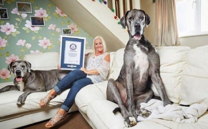 Фредди — самый большой немецкий дог (2,28 м), который живет со своей хозяйкой Клэр Стоунманн в Эссексе, Англия.