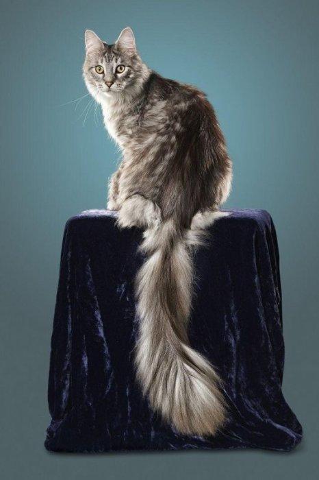 Кот по кличке Сигнус Регулус Пауэрс обладает хвостом длиной в 44,66 сантиметра.