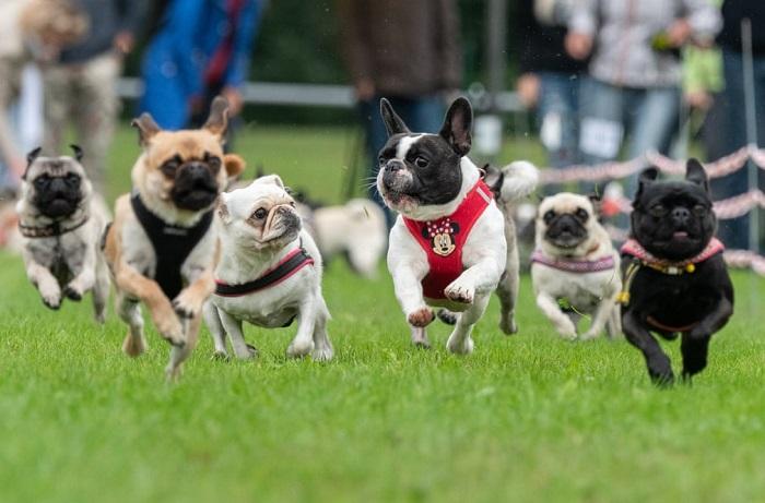 Четвероногие участники 8-й южно-германской гонки мопсов и бульдогов соревнуются за звание самой быстрой собаки.