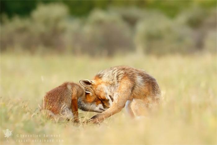 Жизнь диких лис.