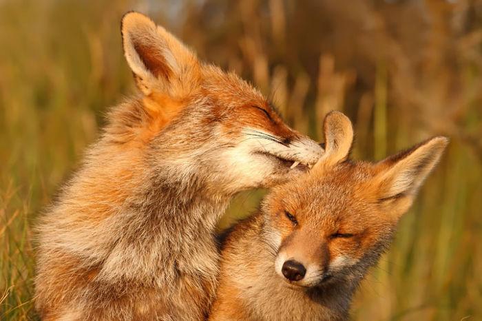 Лисы, демонстрирующие любовь и привязанность.