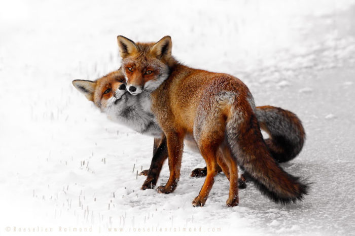 Очаровательные лисы, которые выглядят зимой еще краше и пушистее.