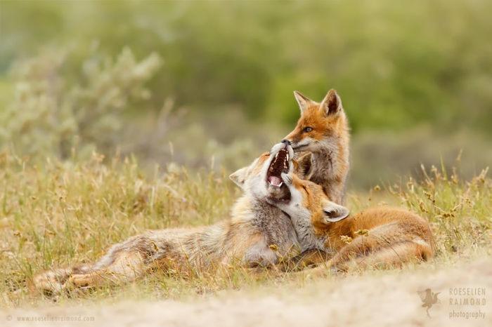 Маленькие лисята играют между собой.