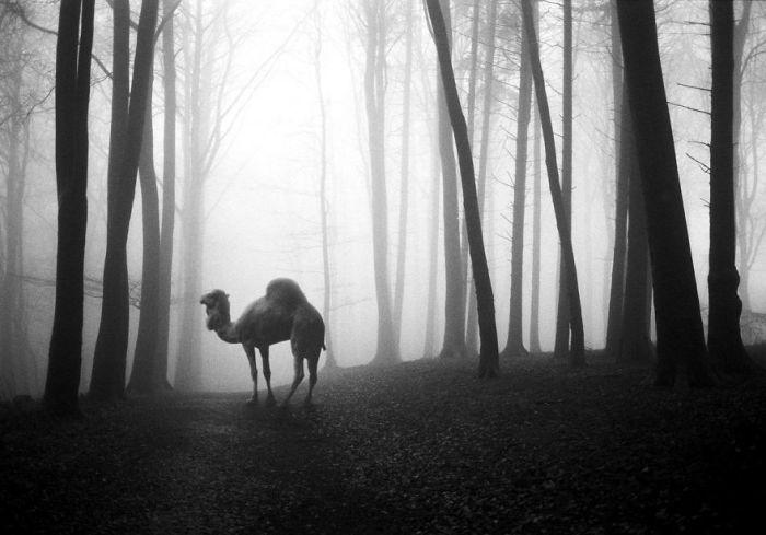 Для серии «Животные в лесу» немецкий фотограф использует только черно-белые фотографии.