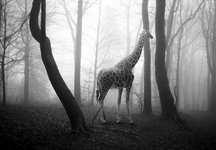 Черно-белые фотографии невольно заставляют задуматься о судьбе диких животных.