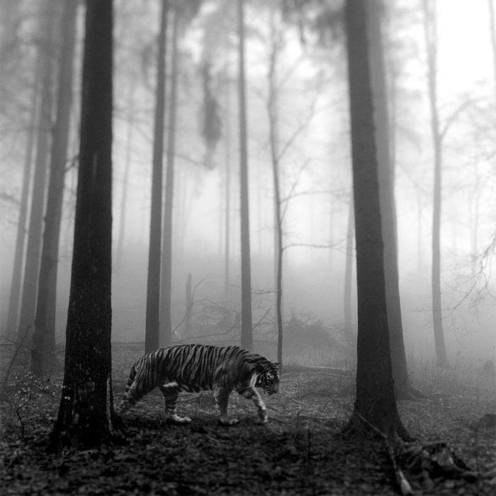 Однажды, снимая лесные туманные пейзажи, Фрэнку посчастливилось сфотографировать великолепного оленя.