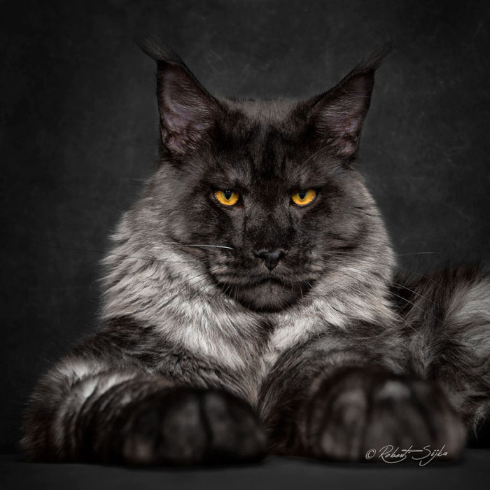 купить май кун коты фото