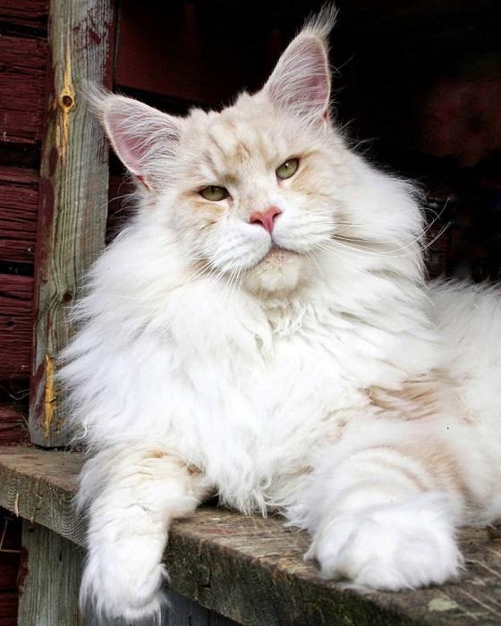 Кот-гигант Лотос просто обожает прогулки и никогда не отказывает себе в таком удовольствии.