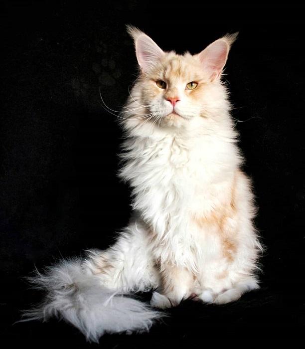 Несмотря на свои большие размеры и слегка надменный вид, кошки породы мейн-кун очень дружелюбные и ласковые.