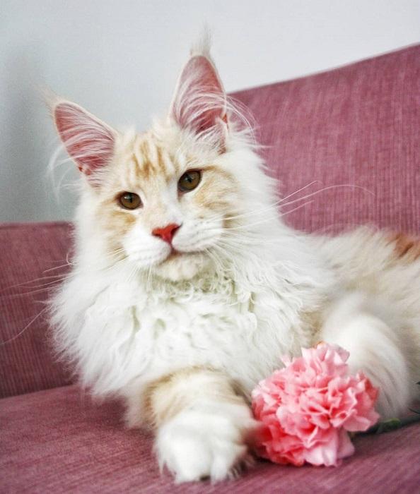 Белый Лотос обожает своих хозяев и легко уживается с двумя другими кошками той же породы, которые не могут похвастаться такими же впечатляющими размерами.