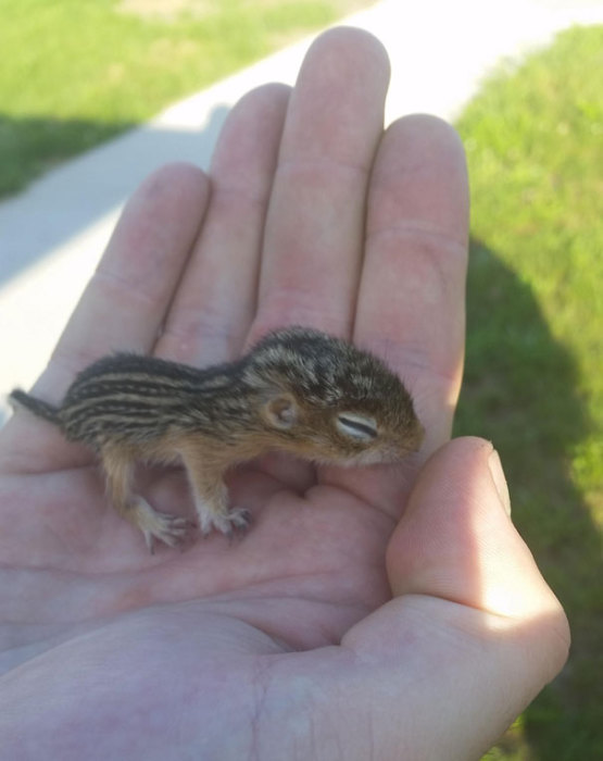 Новорождённый бурундучок, которого нашёл прохожий в парке.