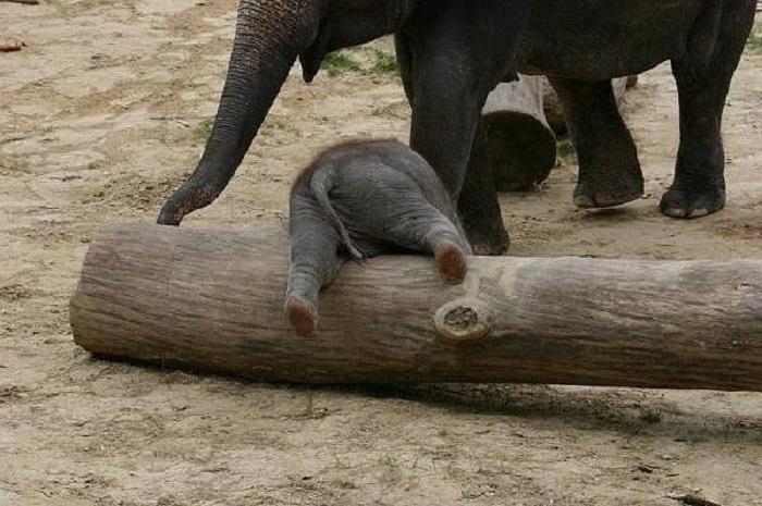 Новорождённый слонёнок изучает местность.