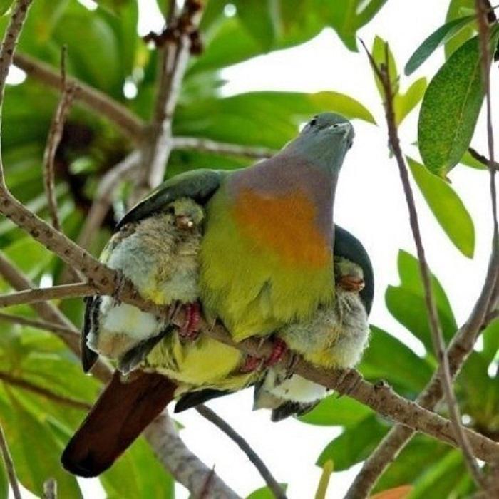 Два маленьких птенчика под крыльями матери.