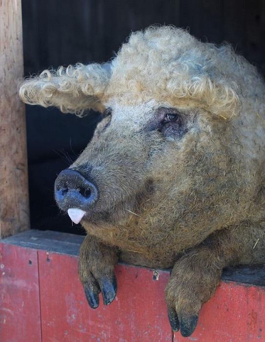 Свинка, которая очаровывает с первого взгляда.