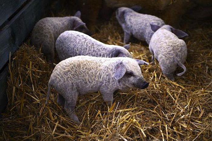 Свинки с очень сильным иммунитетом.