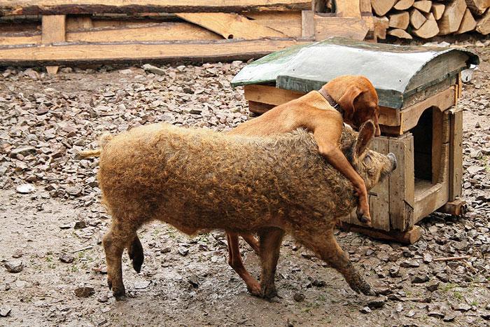 Эти свиньи известны своим добрым и игривым нравом, за это их сравнивают с собаками.
