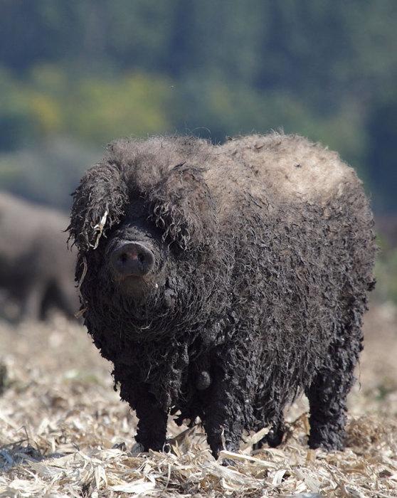 Вес взрослого животного превышает 300 кг.