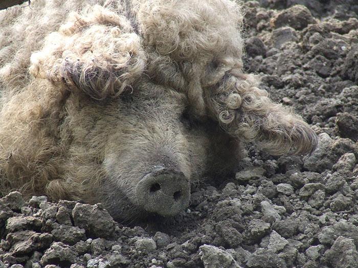 Осенью свиньи обрастают густой длинной шерстью.