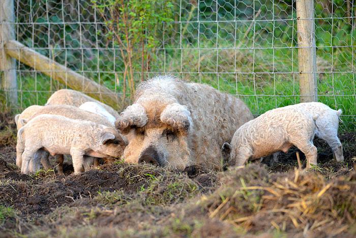 Свиньи, получены путем скрещивания дикого кабана с карпатской мангалицей.