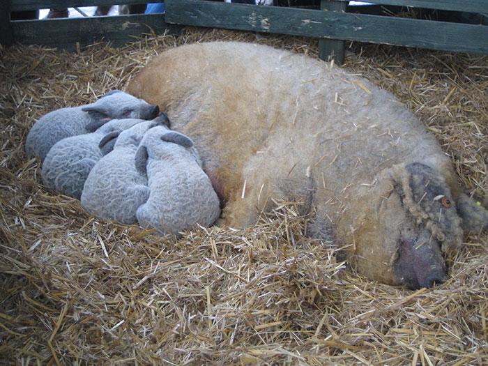 Элитные свиньи из всех травоядных пород.