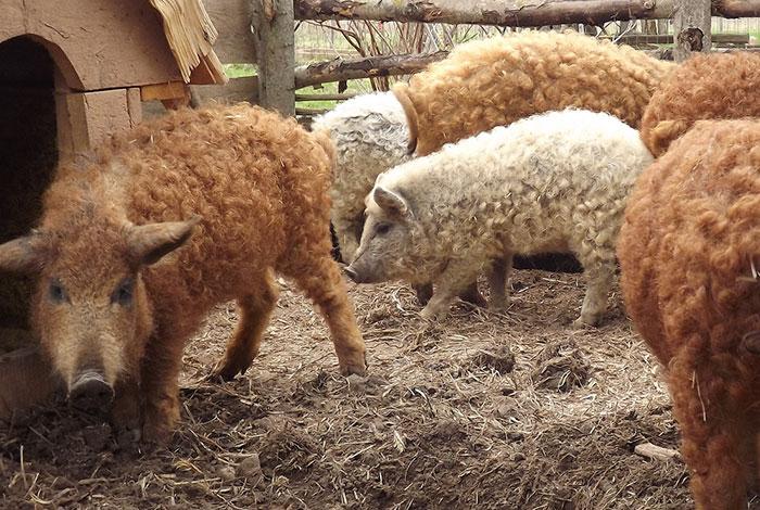 Свиньи с длинной шерстью, как у овец.