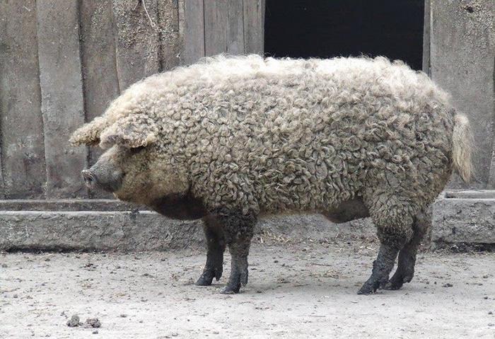 Свиньи, которые не нуждаются в специальных условиях содержания.