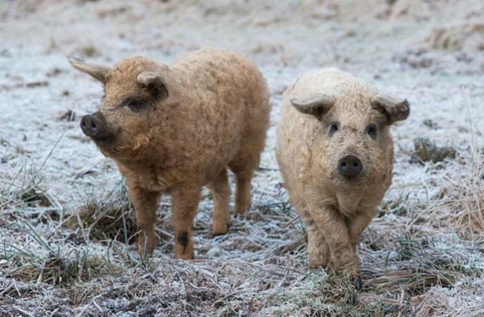 Венгерская порода свиней.