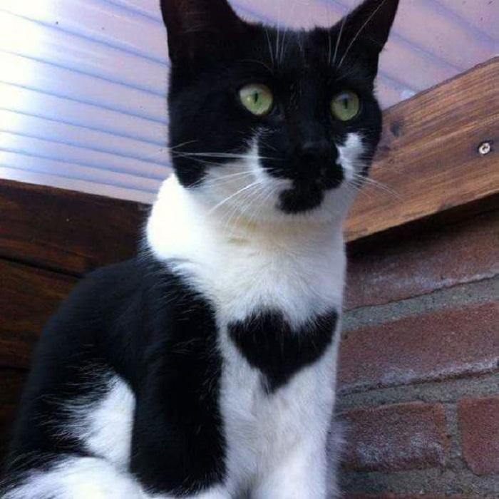 Получилось так, что у кошки по кличке Луна два сердца.