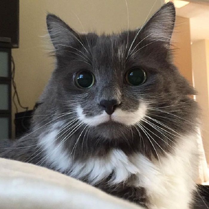 Из-за специфического окраса на мордашке Гамильтона красуются усы, которые очень похожи на те, что носил знаменитый детектив Эркюль Пуаро.