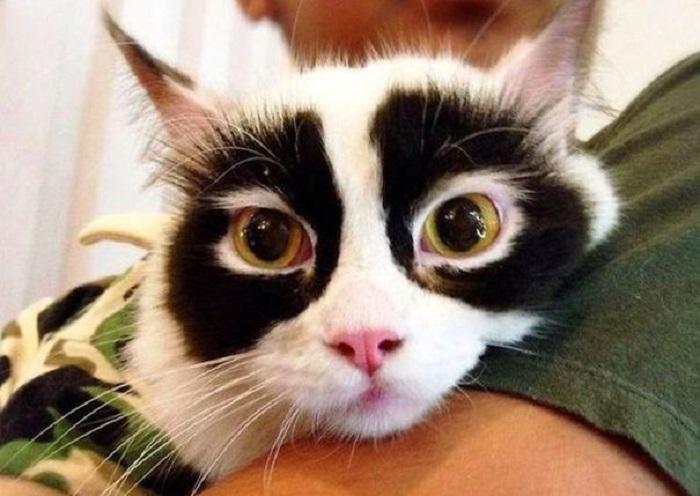 Черная шерсть вокруг глаз делает эту кошку похожей на панду… или секретного супергероя, который скрывает свою истинную личность.