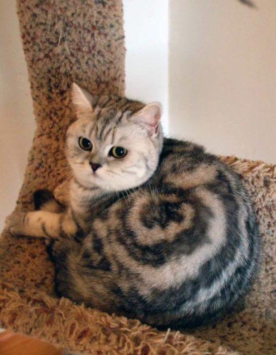 Необычный окрас этого кота очень напоминает раковину знакомой всем виноградной улитки.