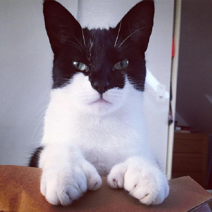 Многопалые кошки появляются из-за генетической аномалии, которая не наносит вреда опорно-двигательной системе.