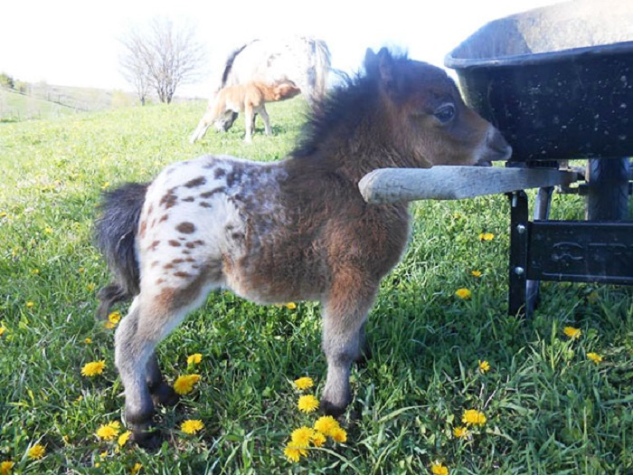 Селекционная мини-лошадка.