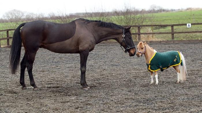 Как и обычные лошади, мини-лошадки трудно переносят одиночество.