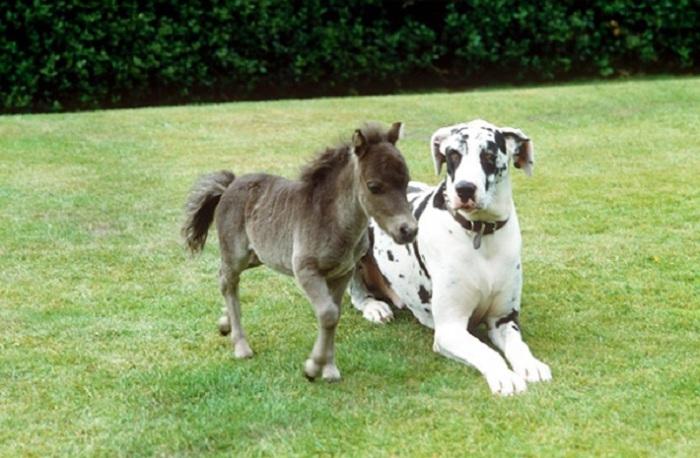 Мини-лошадка умна, храбра и прекрасно обучается различным трюкам - как собака.