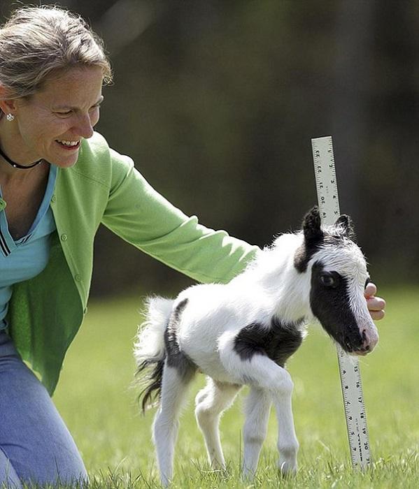 Стандартом породы предусмотрена регистрация лошадей высотой в холке не выше 86 см.