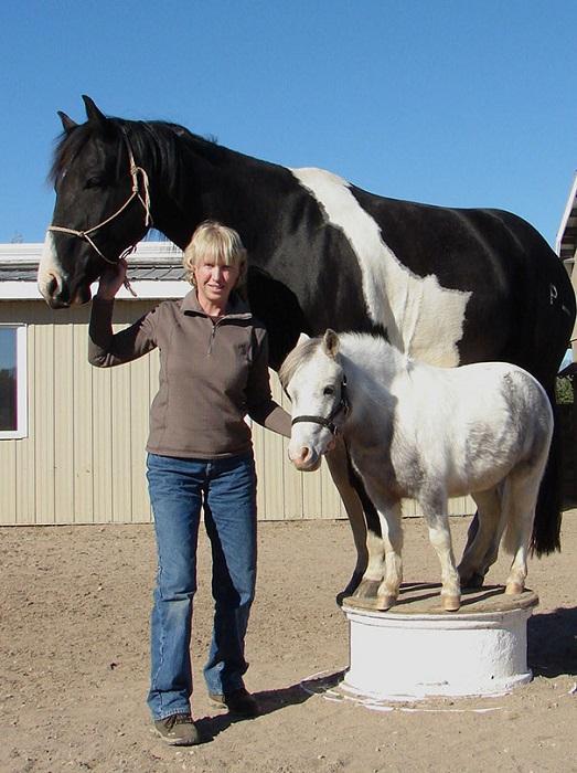 Мини-лошади прекрасно поддаются дрессировке.