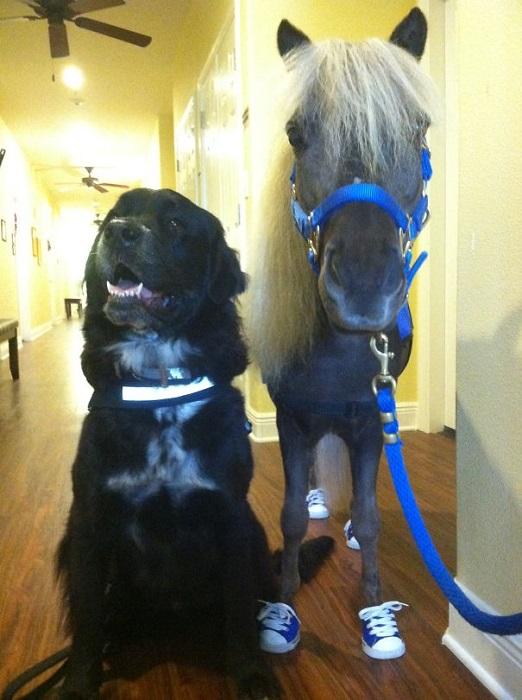 Самым главным преимуществом лошади перед собакой является ее большая продолжительность жизни.