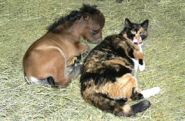Дружба мини-лошадки и кота.