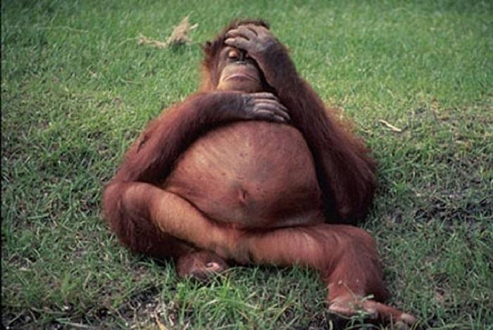 Немножко беременная обезьяна.