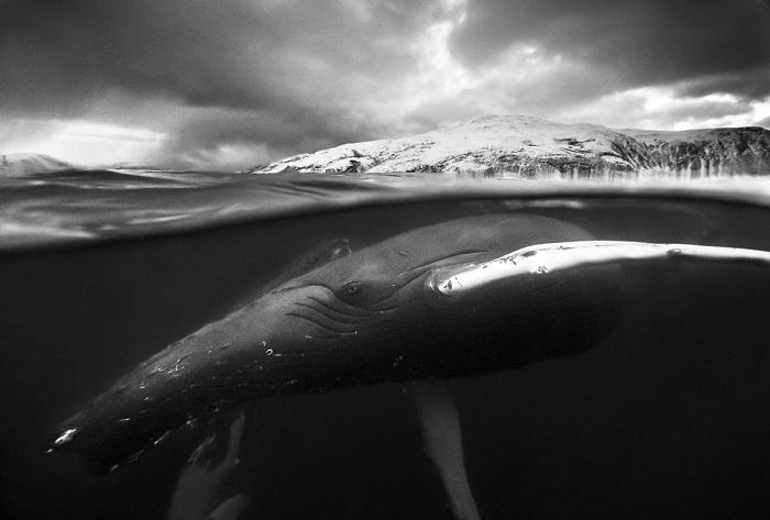 Почетного упоминания удостоился снимок норвежского фотографа Аудуна Рикардсена (Audun Rikardsen), запечатлевшего двух играющих горбатых китов.
