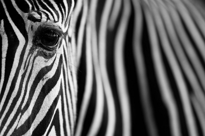 Поощрительной премией награжден испанский фотограф Марио Морено (Mario Moreno) за необычный «полосатый» снимок зебры.