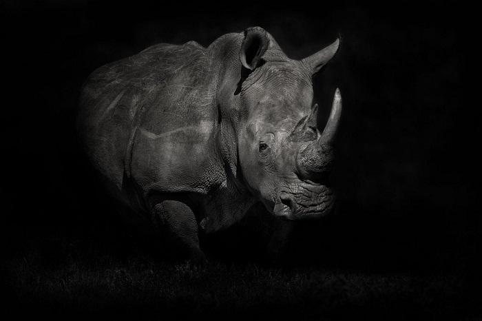 Поощрительной премией награжден испанский фотограф Марио Морено (Mario Moreno), запечатлевший белого носорога в монохроме.
