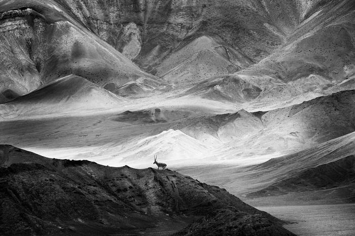 Китайский фотограф Лин Чен (Lin Chen) удостоился поощрительной премии за снимок антилопы на покрытой песком вершине скалы.