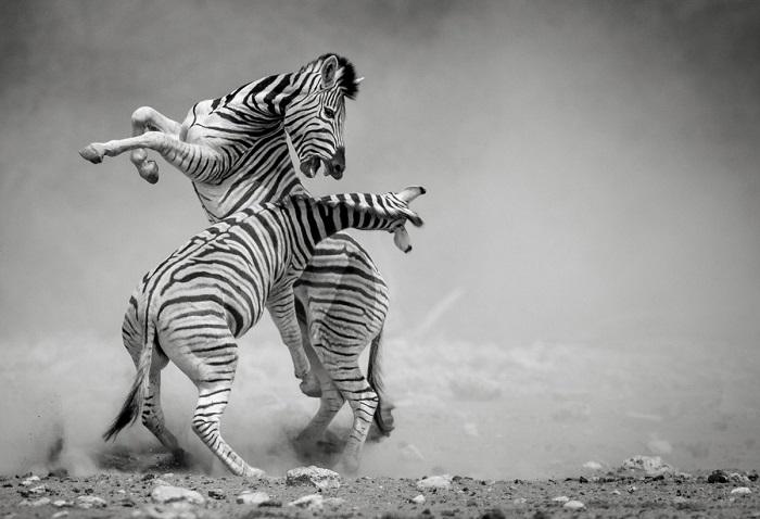 Третьим в категории «Монохром» стал индийский  фотограф Соналини Хетапал (Sonalini Khetrapal) со снимком поединка зебр в Национальный парк Этоша (Намибия).